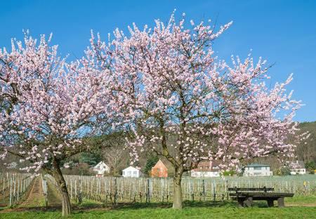 Mandelbaum in der Blüte